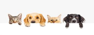 4 Pets peering over a wooden fence with the only thing showing is from the nose up and their paws. From left to right: a gray Mackerel Tabby cat, a Golden Labrador Retriever dog, an Orange Marmalade cat and a two-tone Black and White Australian Shepherd.